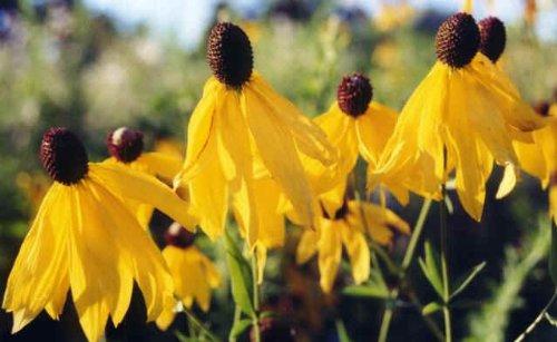 Premier Seeds Direct RAD01F Grauköpfige Sonnenhüte BlumenSamen (Packung mit 100)