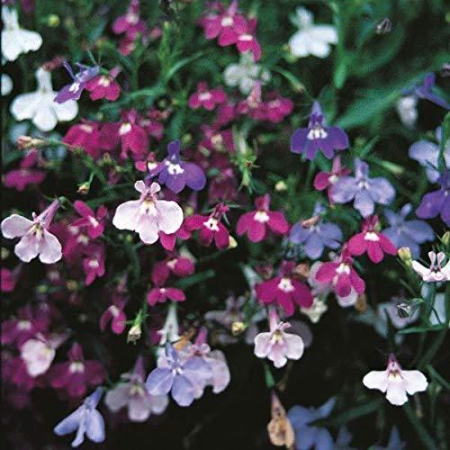 Galleria fotografica Portal Cool Confezione Seme di Fiore Lobelia (Trailing) Colore Cascade Kings Misti Garden Seeds