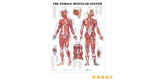 The Female Muscular System Laminated Anatomical Chart Company