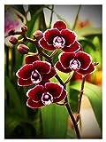 Wowdecor DIY Malen nach Zahlen Kits Geschenk für Erwachsene Kinder, Malen nach Zahlen Home Haus Dekor - Rot Schmetterling Orchidee 40 x 50 cm Rahmen