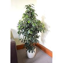 Birkenfeige Mix 4 Pflanzen im /Übertopf 20-25 cm Ficus Benjamina Zimmerpflanze