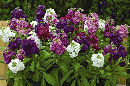 Matthiola 100 graines - (Matthiola Incana Ten Semaine Mix Color) Parfum de nuit Plantes parfumées bonsaï graines Violet Fleurs (MAT01 n)