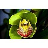 El envío libre 100 PC / paquete de semillas Semillas de jardín Bonsai único de la flor de la orquídea mariposa 5