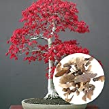BigFamily 20 Teile / beutel Ahornbaum Bonsai Samen Acer Palmatum Atropurpureum Pflanze Hausgarten