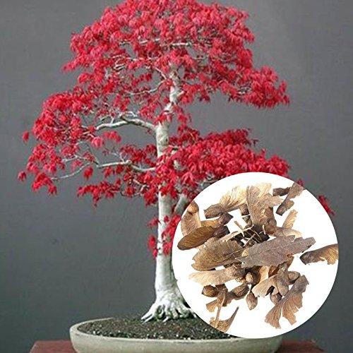 Rosepoem Ahorn Samen, 20 Stücke Importiert Ahornbaum Bonsai Samen Bonsai Wachsende Pflanzensamen Bonsai Baum Pflanzen Pot - Rot Ahorn