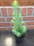 Pinus Pinea, Mittelmeer Kiefer, Schirmkiefer, Bonsai, Mini Weihnachtsbaum 3stk