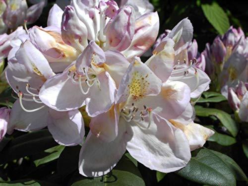 Rhododendron Hybride 'Gomer Waterer' - Im 5 lt. Topf, Höhe ca. 30-40cm