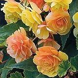 WuWxiuzhzhuo 50Schöne Begonie Blume Samen, Home Garten Yard Getopfte Bonsai Dekoration 1