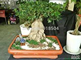 AAA 50pcs 2016 Rare genuino Ficus Ginseng semillas 22kinds mezcla empacar semillas de hierbas ginseng semillas del árbol de Banyan envío gratuito