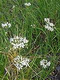 Allium tuberosum - Schnittknoblauch, 6 Pflanzen
