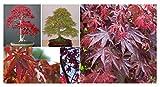 20x Acer palmatum Fächer Ahorn Bonsai Pflanze frisch Samen Bäume Ahorne Neu B510