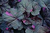 Heuchera, Purpurglöckchen Midnight Rose - in Gärtnerqualität von Blumen Eber