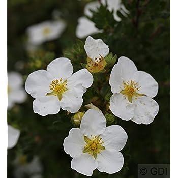 Potentilla fruticosa 10x Fünffingerstrauch Darts Golddigger