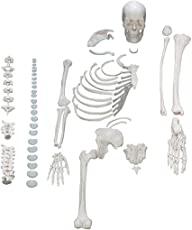 Gravilab Human Skeleton Disarticulated Imported