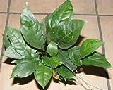 1 Topf Anubia gigantea, Riesenspeerblatt