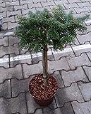 Zwerg Koreatanne - Abies koreana - Brillant - sehr gute Frosthärte - Stamm 40 cm