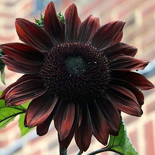 Portal Cool Sonnenblume (Helianthus annuus Black Magic) 20 Samen (# 1638) -