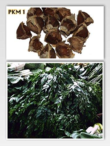 Moringa-bäume (10 Samen Meerrettichbaum -Moringa oleifera- (frischer Direcktimport) Top Qualität -Sehr schnell wachsender Baum- >Viele Wichtige Vitamine<)