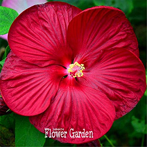 Bloom Green Co. Promotion!Red Giant Hibiscus Flower flores Beautiful Flower Bonsai Plant DIY Home Garden 50 Pcs/bag, 2U1LPQ: 12