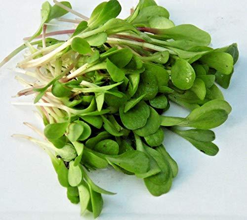 50 g BIO Keimsprossen Chicory Red Italico Samen für die Sprossenanzucht Sprossen Microgreen Mikrogrün