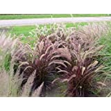 50 PURPLE FOUNTAIN GRASS Ornamental Pennisetum Seeds by Seedville