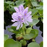 Wasserhyazinthe, Dickstielige Wasser-Hyazinthe / Eichhornia crassipes