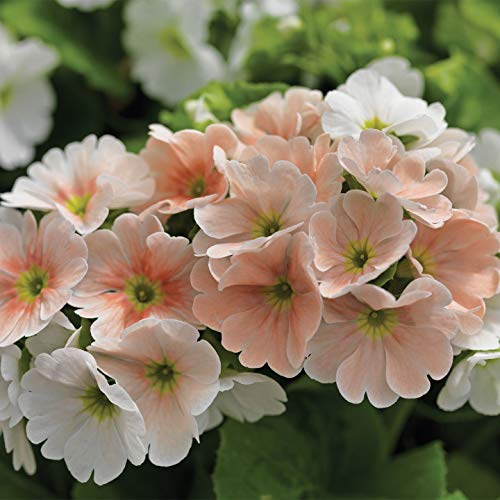 "CUSHY Becher-Primel 'Libre Blau Bicolor"" (10 Blumen-Samen) Beetpflanze, Container"