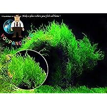 Pinkdose 1000pcs una bolsa de plantas raras acuario Planten musgo de Java Grass plantas planta acuÃ