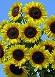 TROPICA - Sonnenblumen - Full Sun F1 (Helianthus annuus) - Höhe: Bis zu 180 cm - 25 Samen