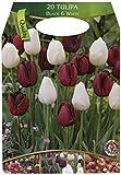 Großpackung mit 20 Tulpen in dunklen und weißen Blüten-Farben