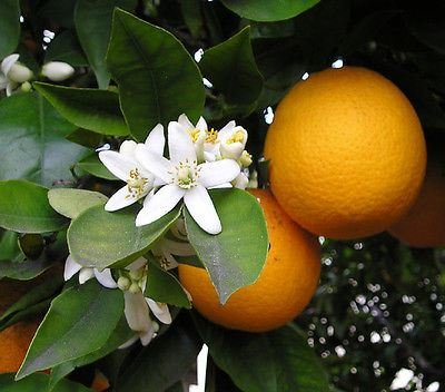orange-tree-citrus-mitus-in-a-9cm-pot
