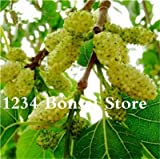 Pinkdose 100 Pz Lungo Mulberry Bonsai Raro Albero Gelso Pianta Esotica Pakistan Frutta Bonsai Grande Super Dolce Non OGM Cibo Per Giardino: 7