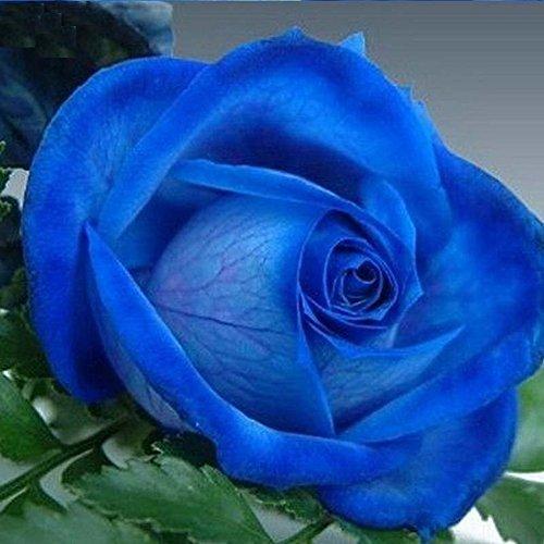 Doubleer 100 Pcs Rainbow Rose Graines De Fleurs Jardin Plantes Graines