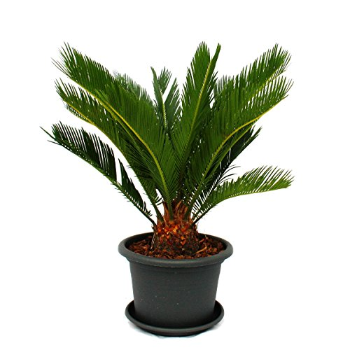 Cycas revoluta in gray deco pot - Japanese palm fern
