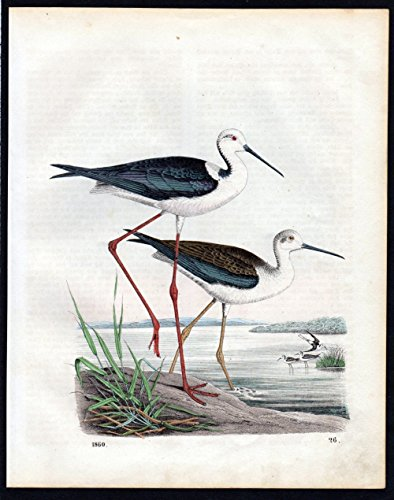 Grafik Stelzenläufer stilt Vögel birds Lithographie lithograph