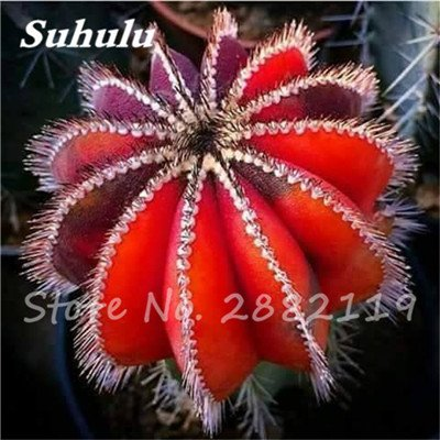 100 Pcs mixte vrai Cactus Seeds, Mini Cactus, Figuier, Graines Bonsai fleurs, vivaces herbes Plante en pot pour jardin 15