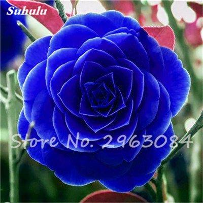 5 pièces rares Graines arc-en-Camellia fleurs, plantes en pot de bricolage, Lumière Parfumée intérieur Fleur, intérieur Bonsai planter des fleurs Semences 20