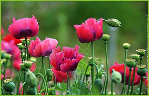 500-graines-seed-pavot-a-opium-fleur-annuelle-bicolore-papaver-somniferum