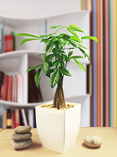 Evergreen Geld Baum Pachira Fortune weiß glänzend Milano Topf, House Office