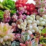 BESTIM INCUK 80 x semillas suculentas mixtos Lithops rara vida piedras plantas Cactus casa plantas