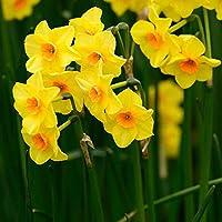 Fiori Gialli Perenni.Bulbi Bulbi 100 Pezzi Narciso Martinette Fiori Gialli Perenni Da