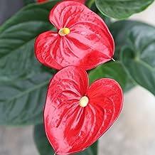 Anthurium - Maceta 14cm. - Altura aprox.55cm. - Planta de interior -