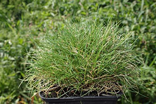 Festuca gautieri 'Pic Carlit' - 3 Pflanzen im 0,5 lt. Vierecktopf