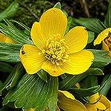 Portal Cool 10 X Humphreys Garten Winterlinge -Eranthis Hyemalis Helle bunte Blume