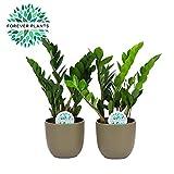 Plantes d'intérieur de Botanicly - 2 × Plante ZZ, en pot de fleur vert comme un ensemble - Hauteur: 55 cm - Zamioculcas