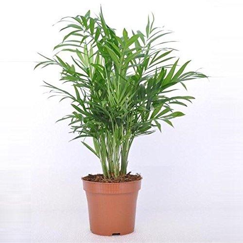 chamaedorea-elegans-plant-in-a-12cm-pot-parlour-palm-45cm-tall-approx