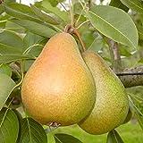 Grüner Garten Shop Birnenbaum Gellerts Butterbirne saftig süß Herbstbirne Buschbaum 120-150 cm 10 Liter Topf auf Quitte A