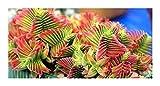 Crassula capitella - succulente - 10 graines