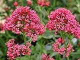 PLAT FIRM Germination Les graines PLATFIRM-5 graines de fleurs rouges Barbe de Jupiter Centranthus Ruber Coccineus