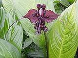 PLAT FIRM GERMINATIONSAMEN: 2 Pflanzen Zwiebeln Tacca chantrieri, Schwarze Fledermausblume seltene Pflanze gesund und stark